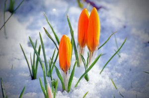 spring-flower-and-snow-1363001040O8n